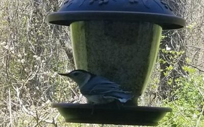 Wild Wednesday: White-Breasted Nuthatch
