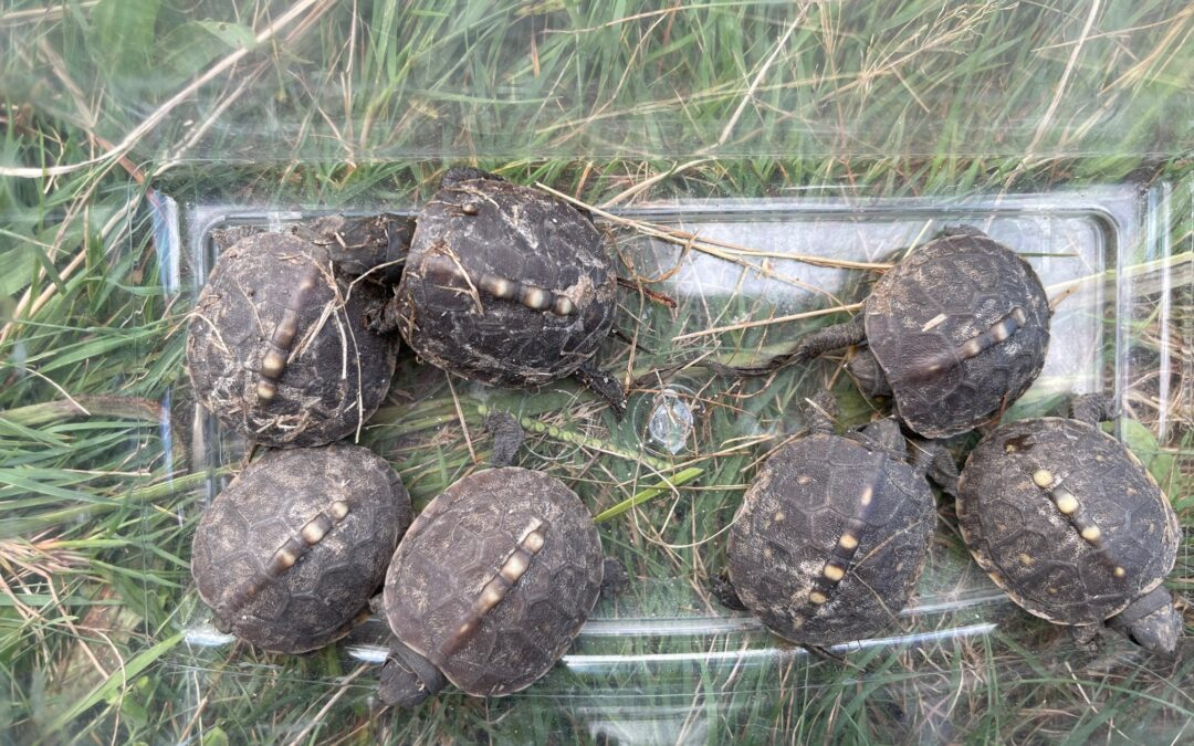 Turtles Hatching at CEED!